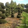 Taxus spiral topiary