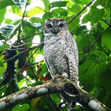 Mottled-Wood-Owl-1025x1025