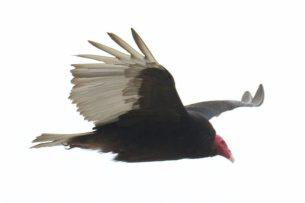 09-ATVU-adult-Arica-pelagic-13-Nov-2015-71-of-77