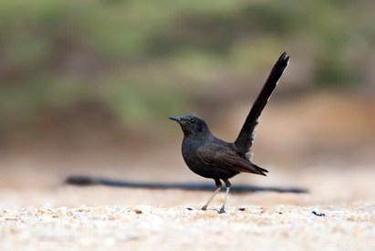 Zwarte Waaierstaart met opgewipte staart; Black Bush Robin with cocked tail