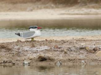 Caspian-Tern-easily-seen-at-IBRCE-copyright-Leo-Heemskerk