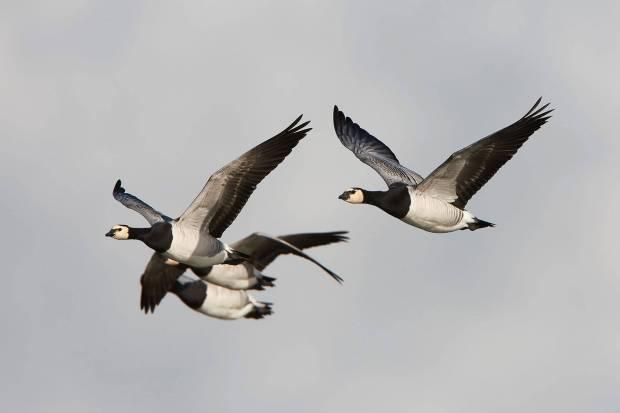 Barnacle-geese