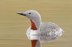 Red-throated-diver-klein