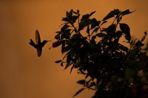 klein_hummingbirdMPR6798