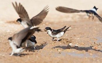 Groep modder verzamelende Huiszwaluwen; Group mud collecting Common House Martins (Delichon urbicum) in flight