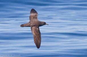 03-dark-Pink-footed-Shearwater-Bodega-Bay-pelagic-CA-91-of-234