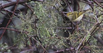 1-Pallas-Warbler