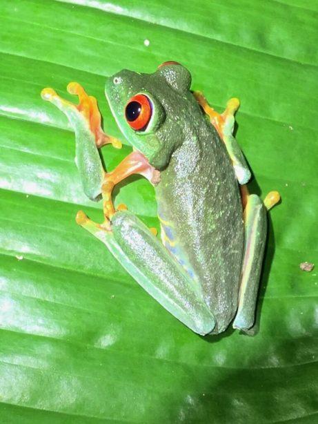 29-Red-eyed-Treefrog-769x1025-1