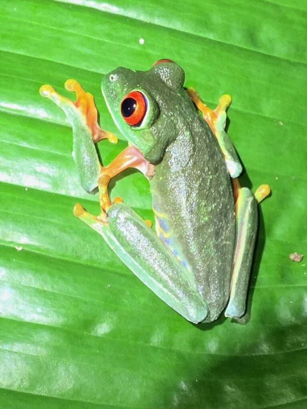 29-Red-eyed-Treefrog-769x1025-1