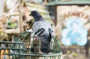 Blog-Leica_Birding_10_Bill_Oddie_Hampstead_March_2016_Feral_Pigeon_on_feeder-1025x683