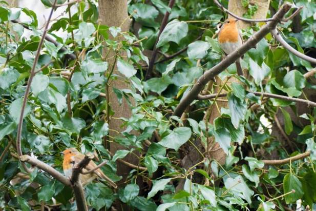 Blog-Leica_Birding_9_Bill_Oddie_Hampstead_March_2016_Red_dots_everywhere_two_male_Robins_in_Bills_garden_think_about_competing_for_a_female-1025x683