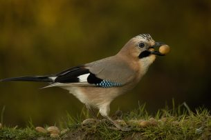 Jay-gathering-acorn