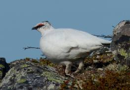 Klein-Ptarmigan-male-2016-5