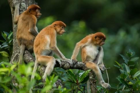 Three young Proboscis monkeys rest on a branch in Tarakan, Indon