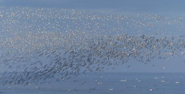 Snettisham-waders-fly-8-1025x525