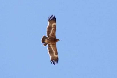 Steppe-Eagle-juvenile-Israel-1-1025x683