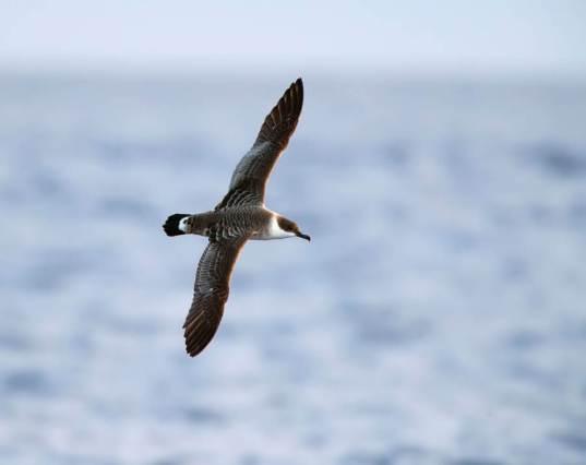 Grote Pijlstormvogel op volle zee op de Azoren; Great Shearwater offshore on the Azores