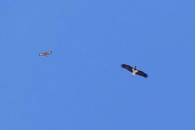 Black-Stork-Buzzard-1025x683