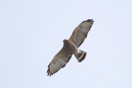 Broad-winged-Hawk-Jeannette-Lovitch-1025x688