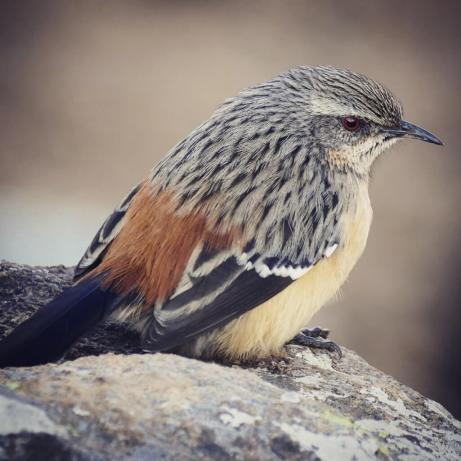 Drakensberg-Rockjumper-1025x1025