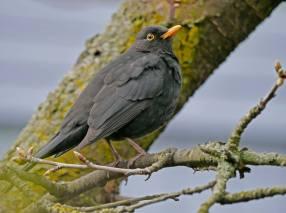 Eurasian_Blackbird-19