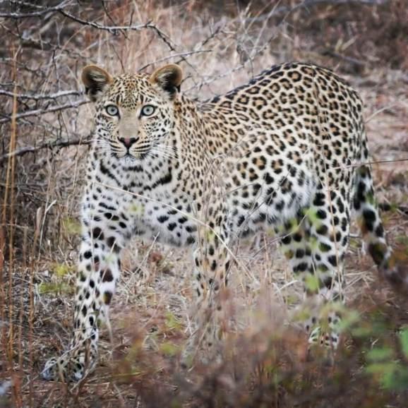 Leopard-1025x1025