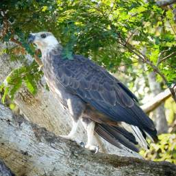 Madagascar-Fish-Eagle-1025x1025