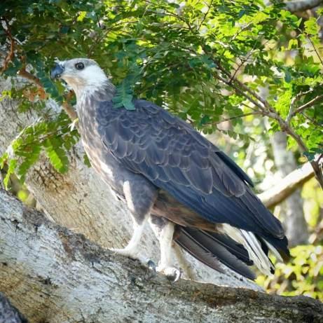 Madagascar-Fish-Eagle-1025x1025