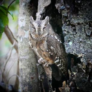 Madagascar-Scops-Owl-1025x1025
