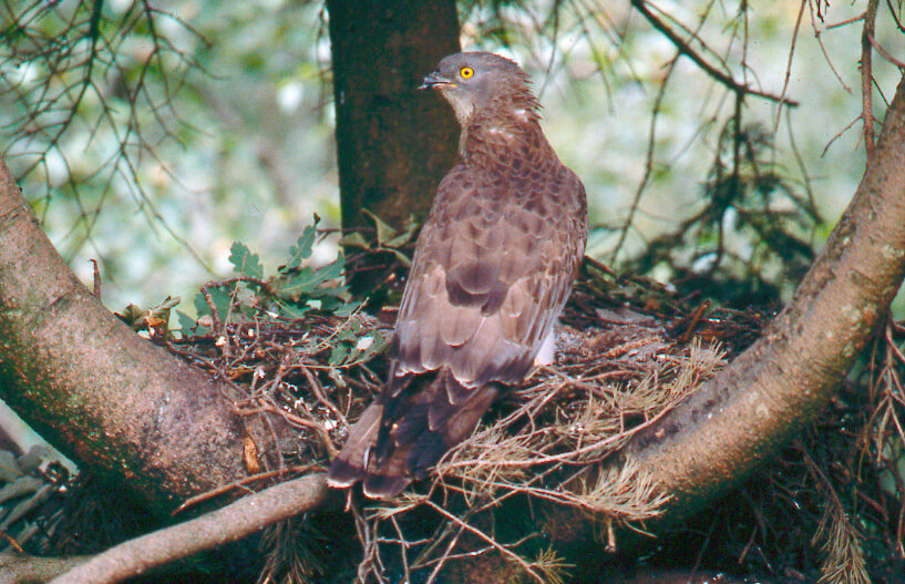 Male-honey-buzzard-at-nest