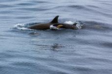 Orcas-1025x681