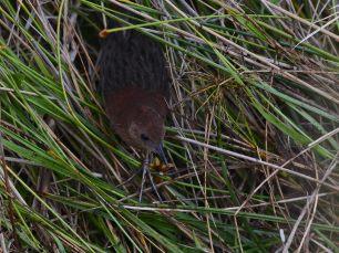 Slender-billed-Flufftail