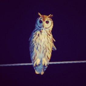 Striped-Owl-CR-1025x1025