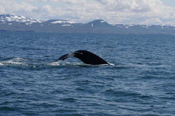 Whale-watching-Husavik-1025x683