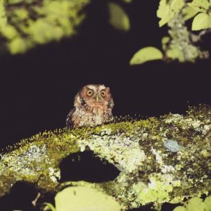 Yungas-Screech-Owl-Argentina-1025x1025