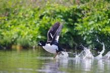 blog-schwarz-weißer-vogel-fliegt-auf-1025x683