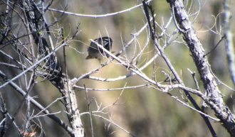 five-striped-sparrow1-1025x601