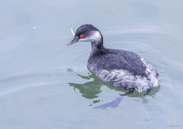 Black-necked-Grebe-(Bill-Heath)
