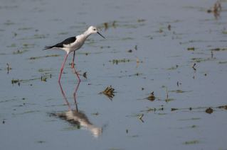Black-winged-Stilt-(David-Lindo)