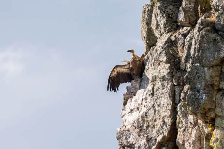 Griffon-Vulture-(David-Lindo)