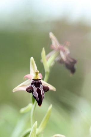 AP6I6328-Ophrys-cretica-ssp-beloniae-edit-klein