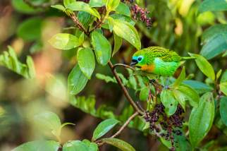 Brassy-breasted-Tanager-(David-Lindo)-klein