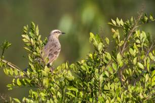 Chalk-browed-Mockingbird-(David-Lindo)-klein