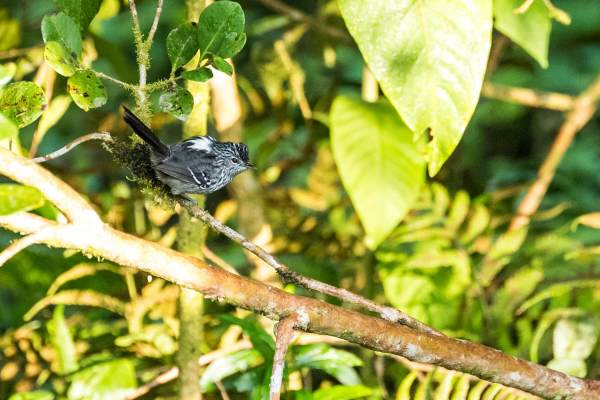 Dusky-tailed-Antbird-(David-Lindo)-klein