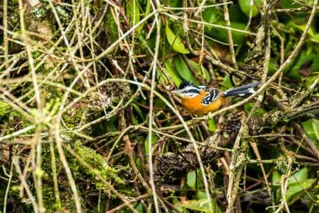 Ferruginous-Antbird-(David-Lindo)-klein