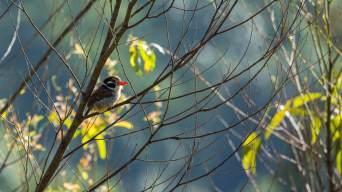 White-eared-Puffbird-(David-Lindo)-klein