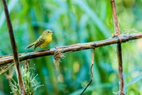 Yellow-Tyrannulet-(David-Lindo)-klein