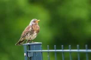 Fieldfare-(David-Lindo)