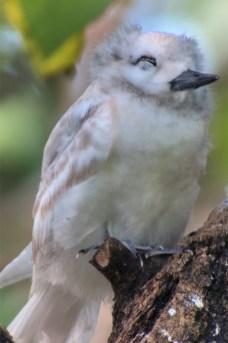 Fairy-tern-juvenile_640x960