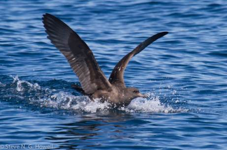 04-dark-Pink-footed-Shearwater-Bodega-Bay-pelagic-CA-156-of-234